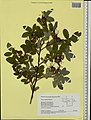 Rosa majalis herbarium (04).jpg