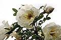 Rosa pimpinellifolia Plena 2008.jpg
