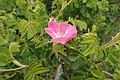 Rosa rubiginosa kz6.jpg