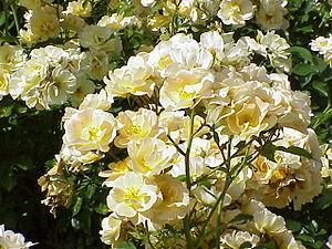 Rosa 'Borussia', a modern Floribunda rose
