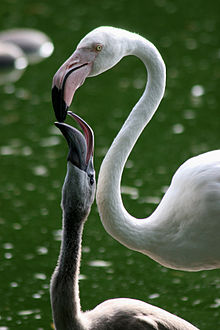 Crop anatomy wikipedia one greater flamingo chick in zoo basel is fed on crop milk ccuart Choice Image