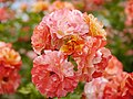 Rose, Alfred Sisley, バラ, アルフレッド シスレー, (15649092397).jpg