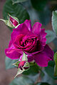 Rose, Intrigue2.jpg