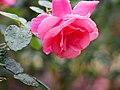 Rose, Magali, バラ, マガリ, (16009438405).jpg
