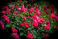 Rose Bush Blooms PLT-FL-RS-12.jpg