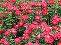 Rose Twenty Fifth トゥウェンティー フィフス (4644733275).jpg
