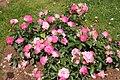 Rose Unknown 043 20070601.jpg