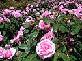 Rose garden (4977039562).jpg