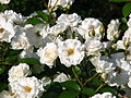 Roses in flowerbeds 02.JPG