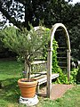Rosmarinus officinalis - Gardenology.org-IMG 0654 bbg09.jpg
