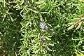 Rosmarinus officinalis Dancing Water 0zz.jpg
