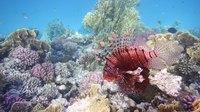 File:Rotfeuerfisch.Pterois miles. Рыба-зебра, рыба-лев.DSCF1394.webm