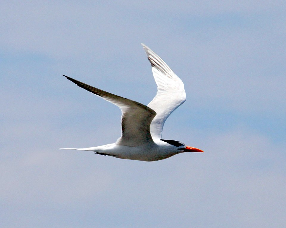 File:Royal tern near Port Fourchon (5015395534).jpg - Wikimedia ...