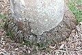Roystonea oleracea 5zz.jpg