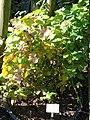 Rubus camptostachis - Botanischer Garten, Frankfurt am Main - DSC02449.JPG