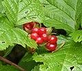Rubus saxatilis in Slovenia (16286308602).jpg