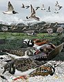 Ruddy Turnstone From The Crossley ID Guide Eastern Birds.jpg
