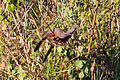 Rufous-bellied Chachalaca (Ortalis wagleri) (8079370588).jpg