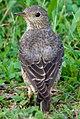 Rufous-tailed Rock Thrush Monticola saxatilis - 1st winter male - Back (cropped).jpg