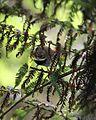 Rufous Fantail hab - Christopher Watson.jpg