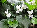 Ruhland, Grenzstr. 3, Duftveilchen im Garten, weiß blühend, Frühling, 03.jpg
