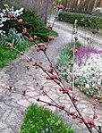 Ruhland, Grenzstr. 3, Mandelbäumchen, Zweig mit Blütenknospen, Frühling, 01.jpg