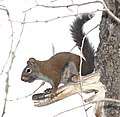 SQUIRREL, RED (Tamiasciurus hudsonicus) (8-20-12) just east of wolf creek pass, co- 02 (9642595753).jpg