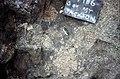 S of Mt Jackson cu of clasts in felsic breccia.jpg