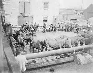 Sable Island horse - Ponies in Halifax, Nova Scotia for auction in 1902, after having been removed from the island