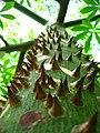 Sacred Mayan Ceiba Tree.jpg