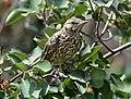 Sage thrasher on Seedskadee National Wildlife Refuge (35814485590).jpg