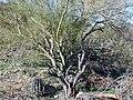 SaguaroWithNursePlant.jpg