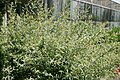 Salix integra Hakuro-nishiki 0zz.jpg