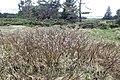 Salix lapponum kz12.jpg