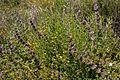 Salvia mellifera and Acmispon glaber (17284183012).jpg