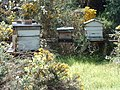 Same hives, sunnier outlook - geograph.org.uk - 1338177.jpg