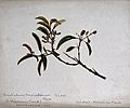 Sandalwood (Santalum album); flowering and fruiting stem. Ch Wellcome V0044276.jpg