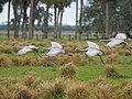 Sandhill Cranes - Grus canadensis, near Lake Placid, Florida (27174156739).jpg