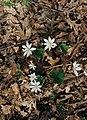 Sanguinaria.canadensis(01).jpg
