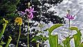 Sarracenia & Calopogon (9282517491).jpg