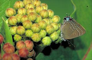 <i>Satyrium edwardsii</i> species of insect