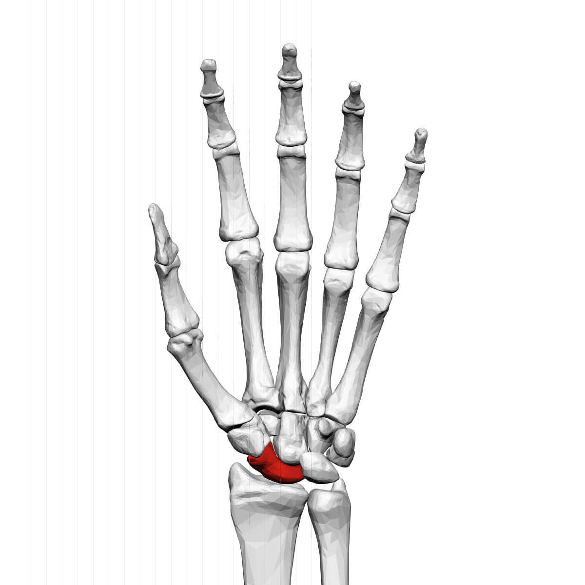 Scaphoid Bone Wikipedia