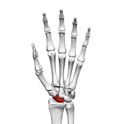 Scaphoid bone (left hand) 01 palmar view.png