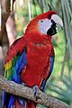 Scarlet Macaw at the Brevard Zoo.jpg
