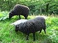 Schaf Ouessantschaf 050901.jpg