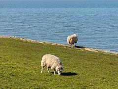 Schapen op de zeedijk bij Hindeloopen. 30-03-2021. (actm) 02.jpg