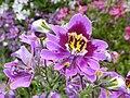 Schizanthus wisetonensis 'Angel Wings' (Solanaceae) flower.JPG
