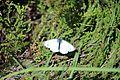 Schmetterling II südlich des Beinn Langais.jpg