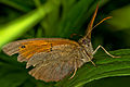 Schmetterling Preset Traumflieger DRI-Natural 6701.jpg