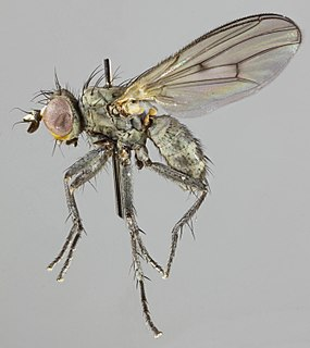 <i>Schoenomyza litorella</i> species of insect